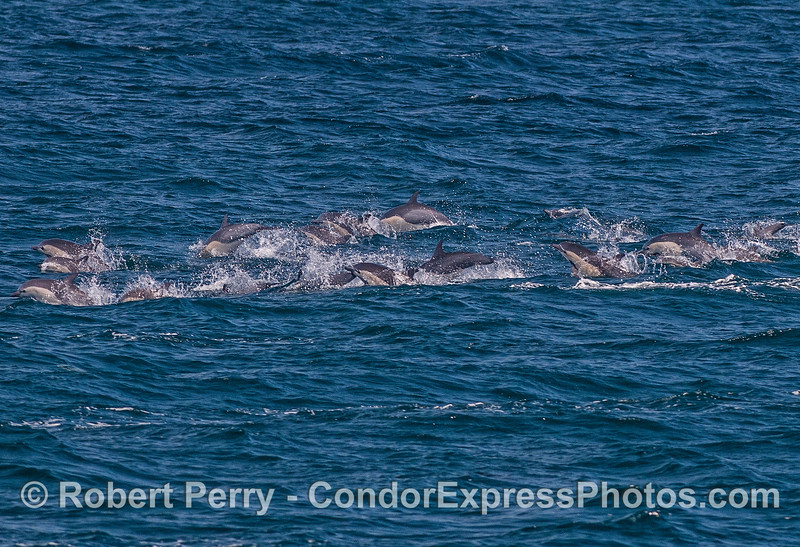 High speed short-beaked common dolphins.