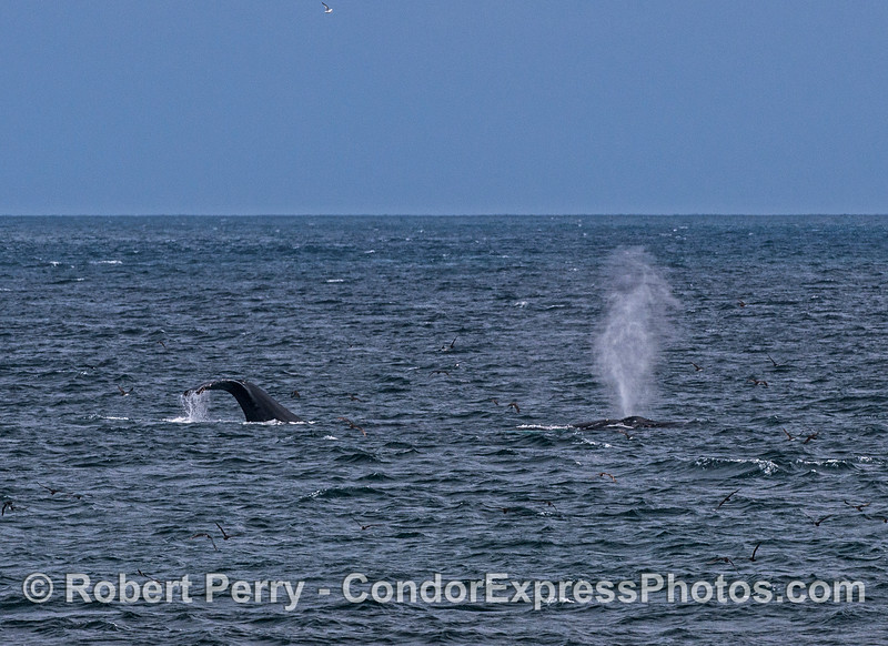 Two humpack whales and a flock of black-vented shearwaters.