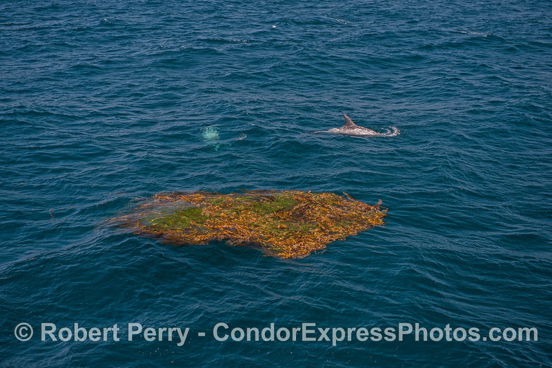 Two Risso's dolphins near a drifting giant kelp (and eel grass) paddy.