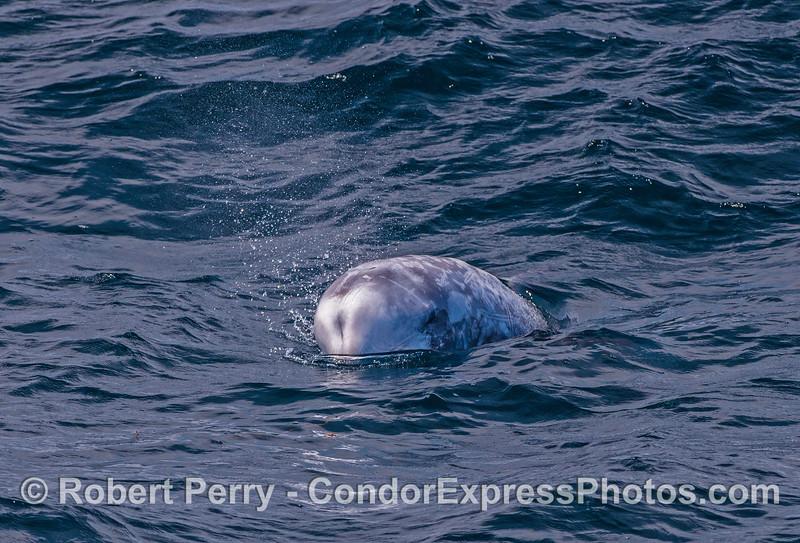 Bulbous head of a Risso's dolphin