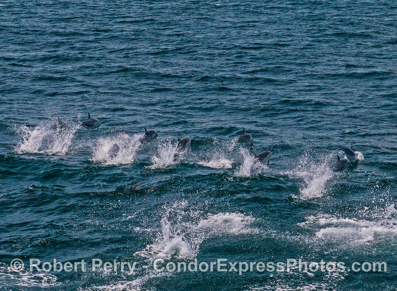 High-speed short-beaked common dolphins.