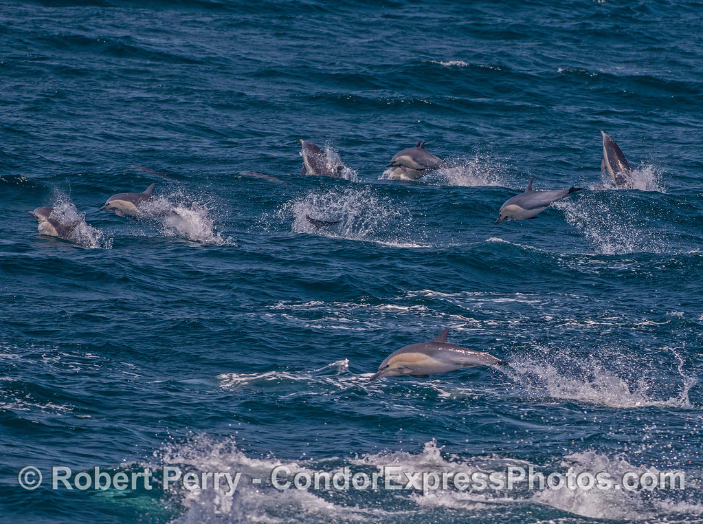 Part of a mega-pod of high-speed short-beaked common dolphins.