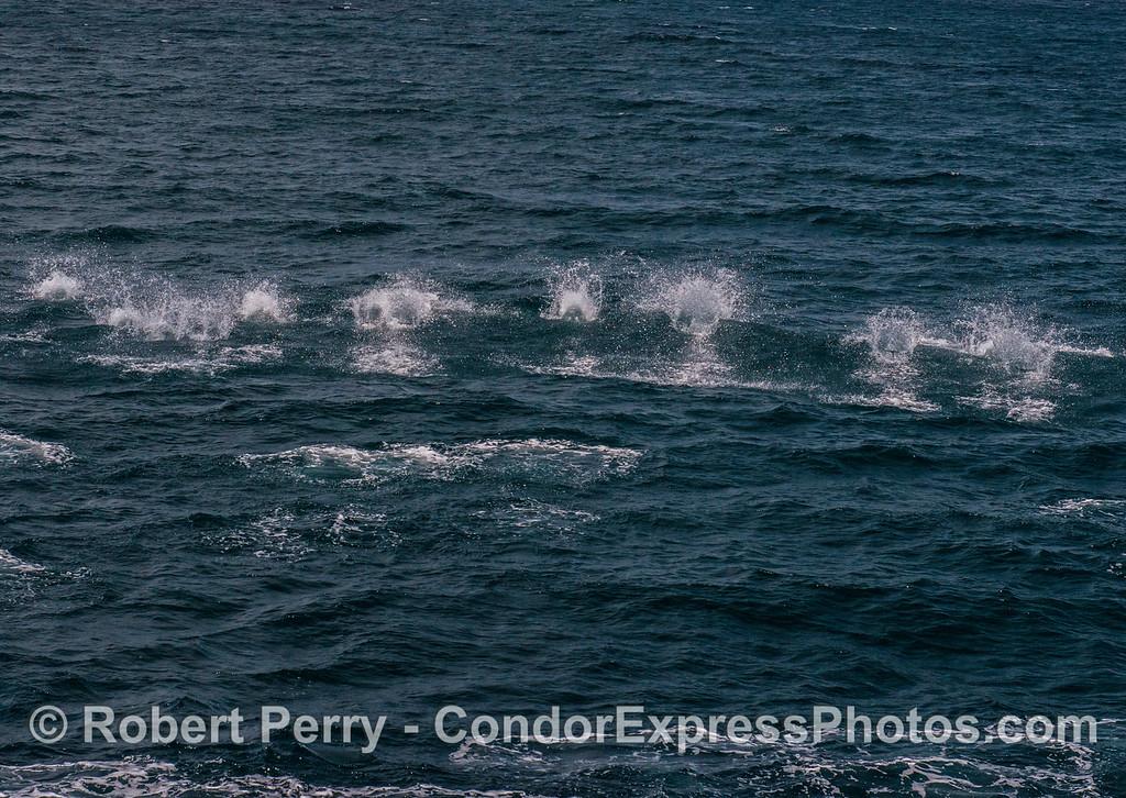 Short-beaked common dolphins on the run.