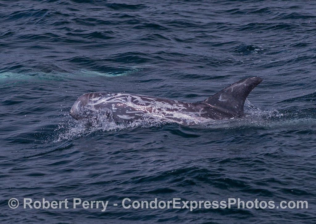 """Risso's dolphin.  A young animal with """"social scars."""""""