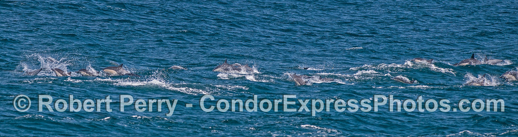 Panorama of high-speed short-beaked common dolphins.
