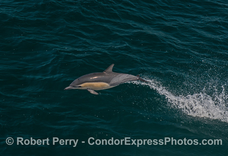 A leaping short-beaked common dolphin.