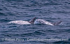 Two Risso's dolphins, an older one (left) and a younger one (right).