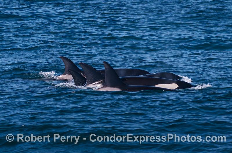Killer whale group