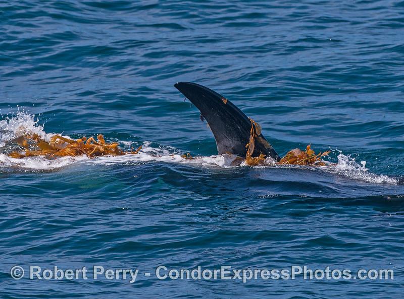 Killer whale kelping.