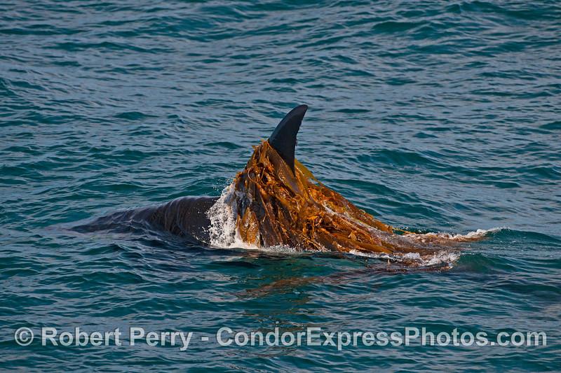 Bigg's killer whale - kelping.