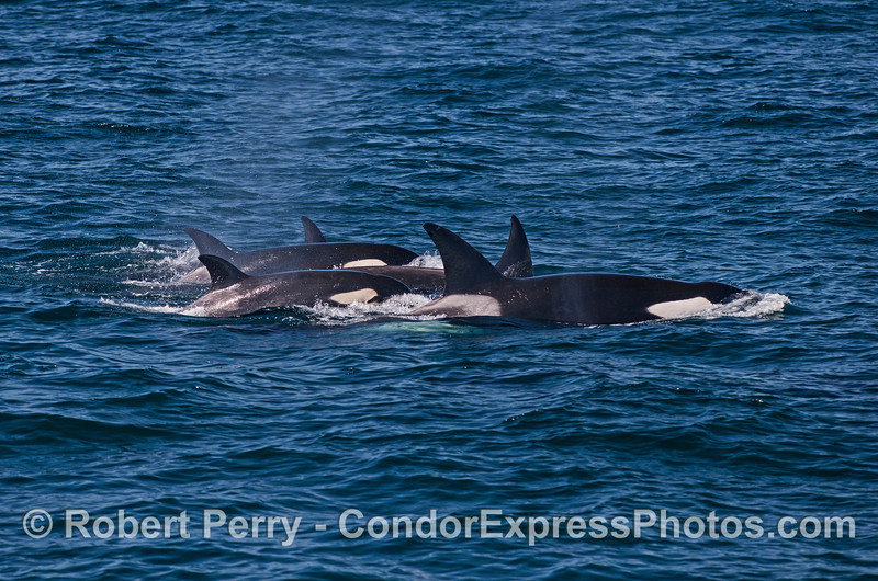 Killer whale group
