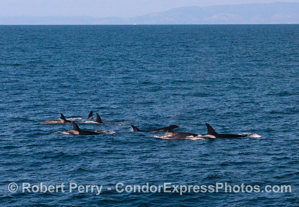 Killer whale group on the move