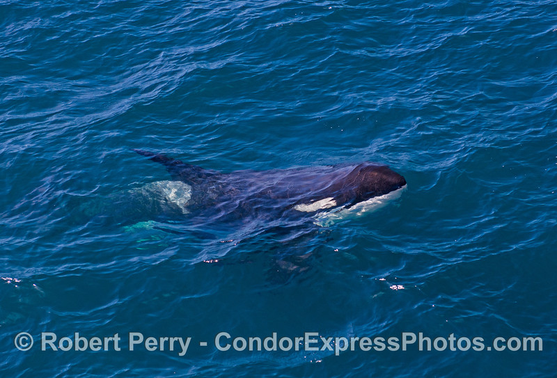 Orcinus orca UW 2016 09-13 SB Channel -a- 162