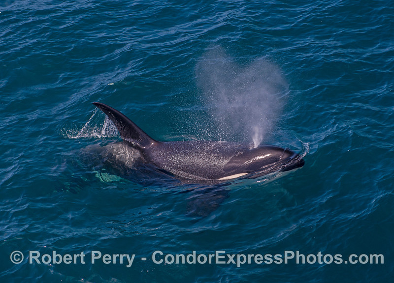 A large killer whale on the surface, spouting.