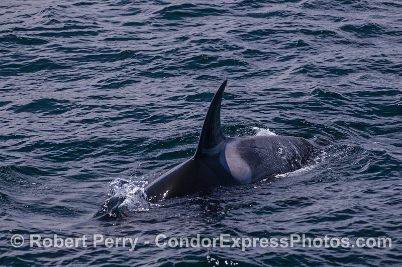 Killer whale friendly approach.