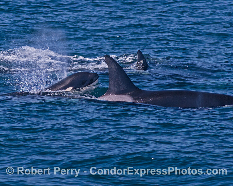 Killer whale calf comes up between adults.