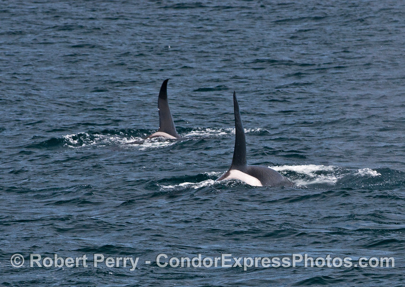 Two tall dorsal fins side by side.