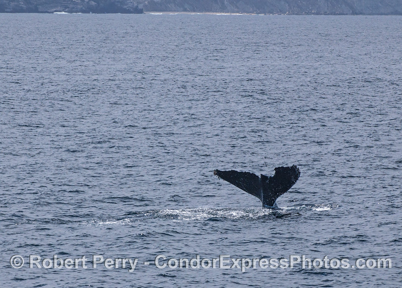 A humpback whale tail with several chunks missing on the trailing edge.