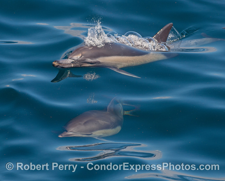 A mother common dolphin (top) and her calf (underwater).