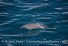 This common dolphin is so young it still shows fetal fold marks.