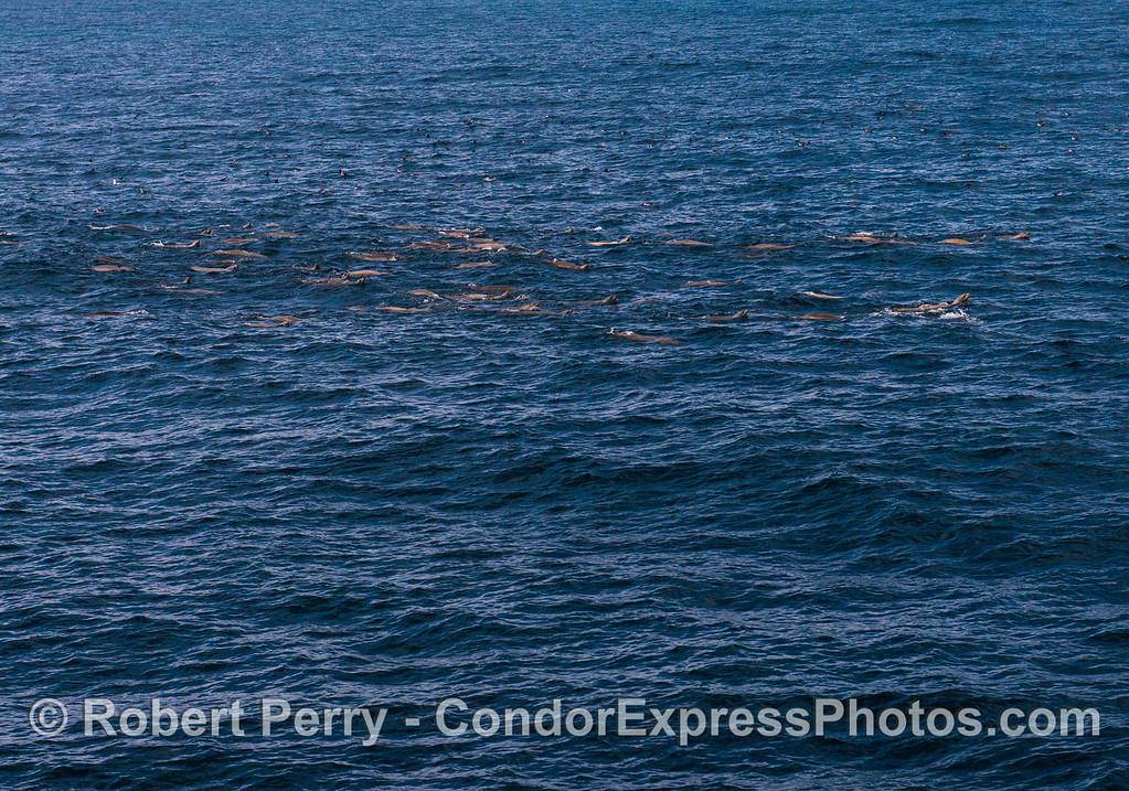 A small section of a California sea lion mega mob.