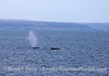 A duo of humpback whales near San Miguel Island.