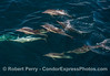 A small portion of a larger herd of long-beaked common dolphins stops by the boat to have a look.