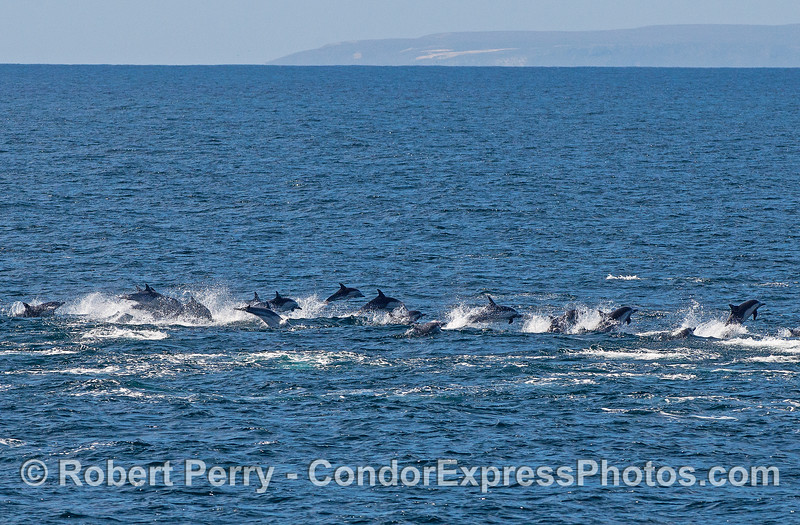 When the killer whales are in town, the dolphins don't wait around to see if they are hungry.