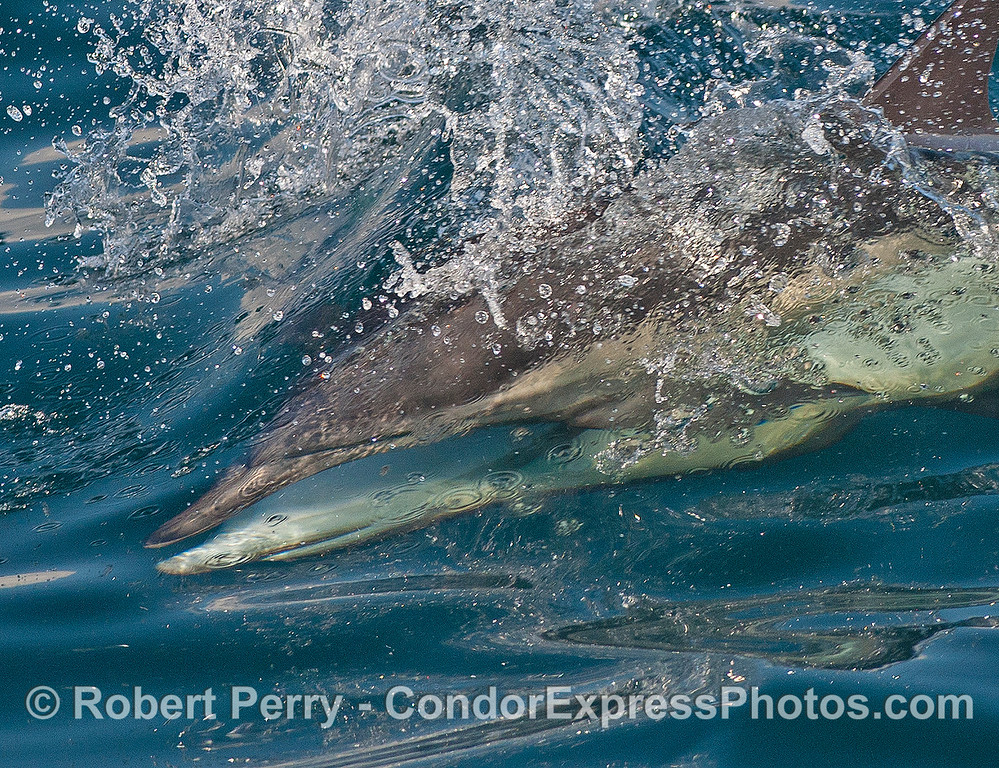 High speed mating - long beaked common dolphins.  Do not try this at home.