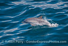 The little calf takes a little leap.  This common dolphin is so young it still shows fetal fold marks.
