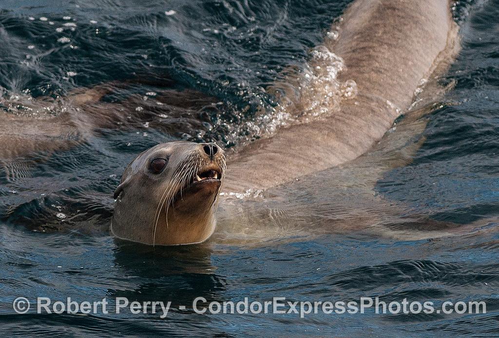 Close up look at a California sea lion.
