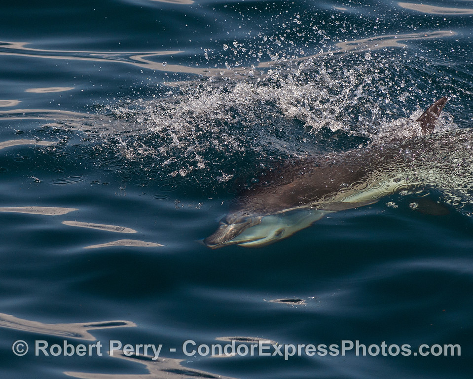 High speed mating - long beaked common dolphins.