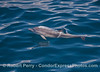 Common dolphin calf with fetal fold lines still visible on its sides.