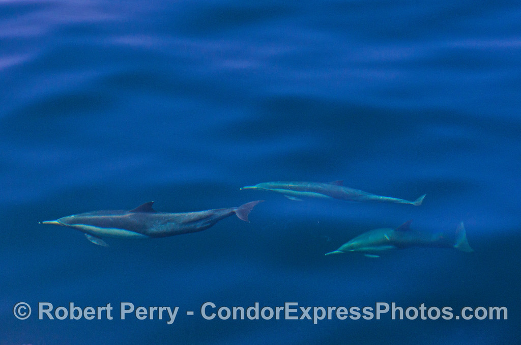 A trio of deep blue dolphins.