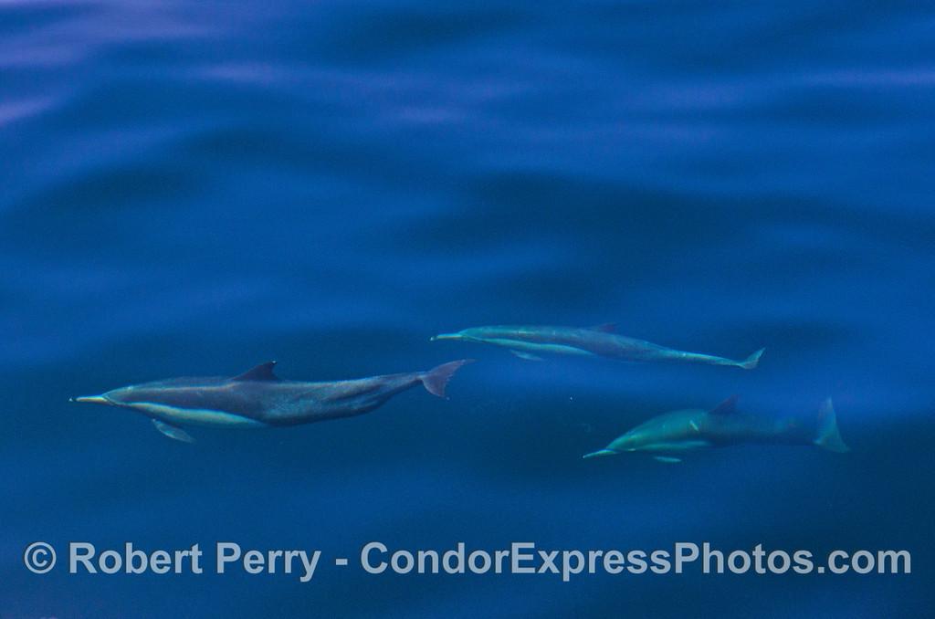 A trio of deep blue dolphins.