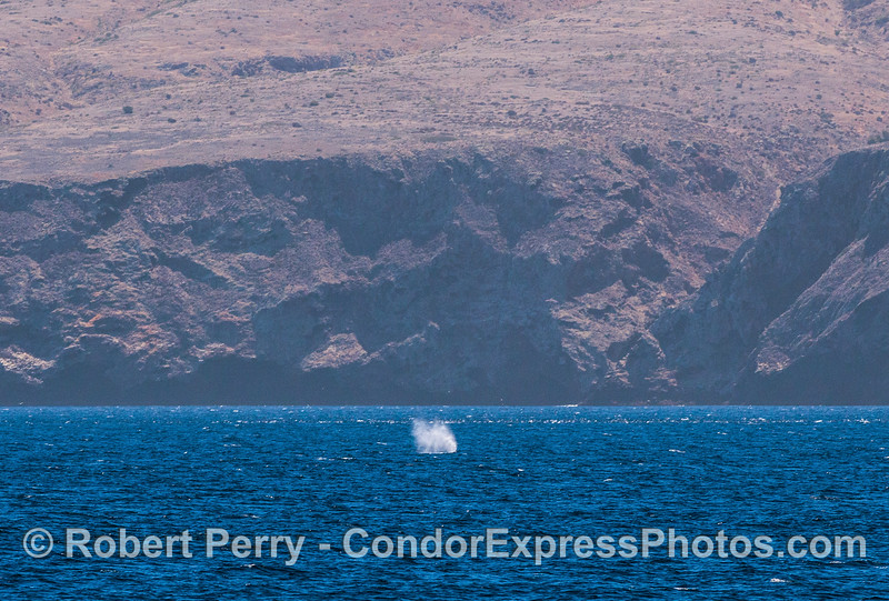 Humpback spout near Santa Cruz Island