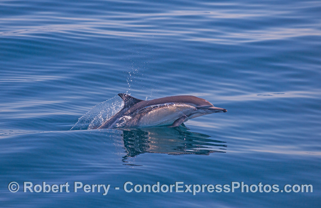 Glassy flat ocean surface and a leaping long-beaked common dolphin