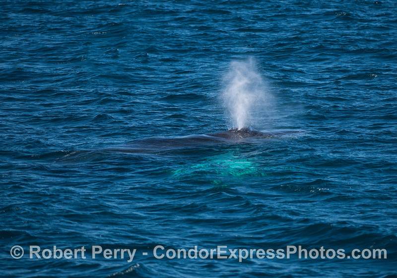 """Whitey-pects""   A humpback whale with white pectoral fins glowing under the surface."