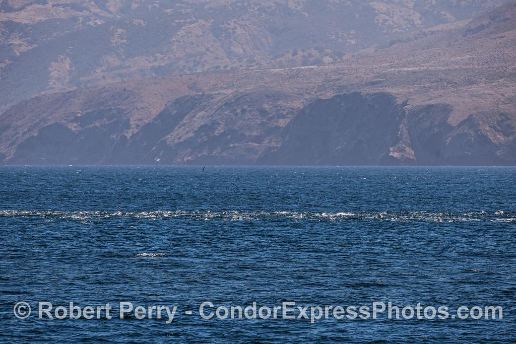 California sea lion mega mob near Santa Cruz Island