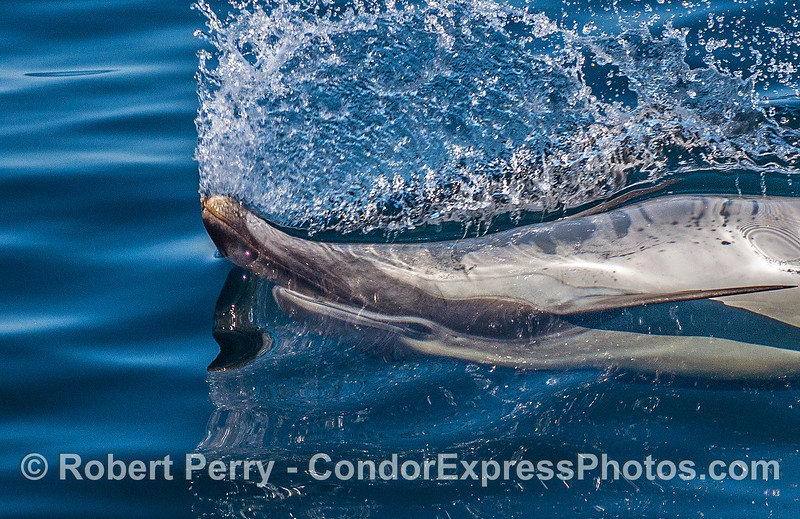 This crazy long-beaked common dolphin decided to take a high speed run with its nose sticking out of the perfectly glassy surface.  Seems to me that this behavior usually has feeding or mating involved, but not this time.  It was just noodling along.