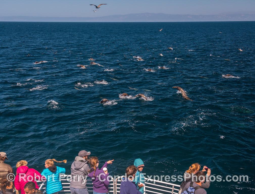 California sea lion mob with their fan club
