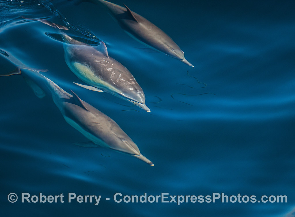 A trio of dolphins on a glassy surface with a trace of natural oil