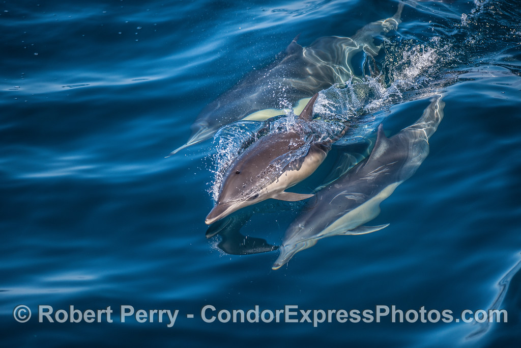 Dolphin calf comes up for a breath while surfing a glassy wave with mom and friend