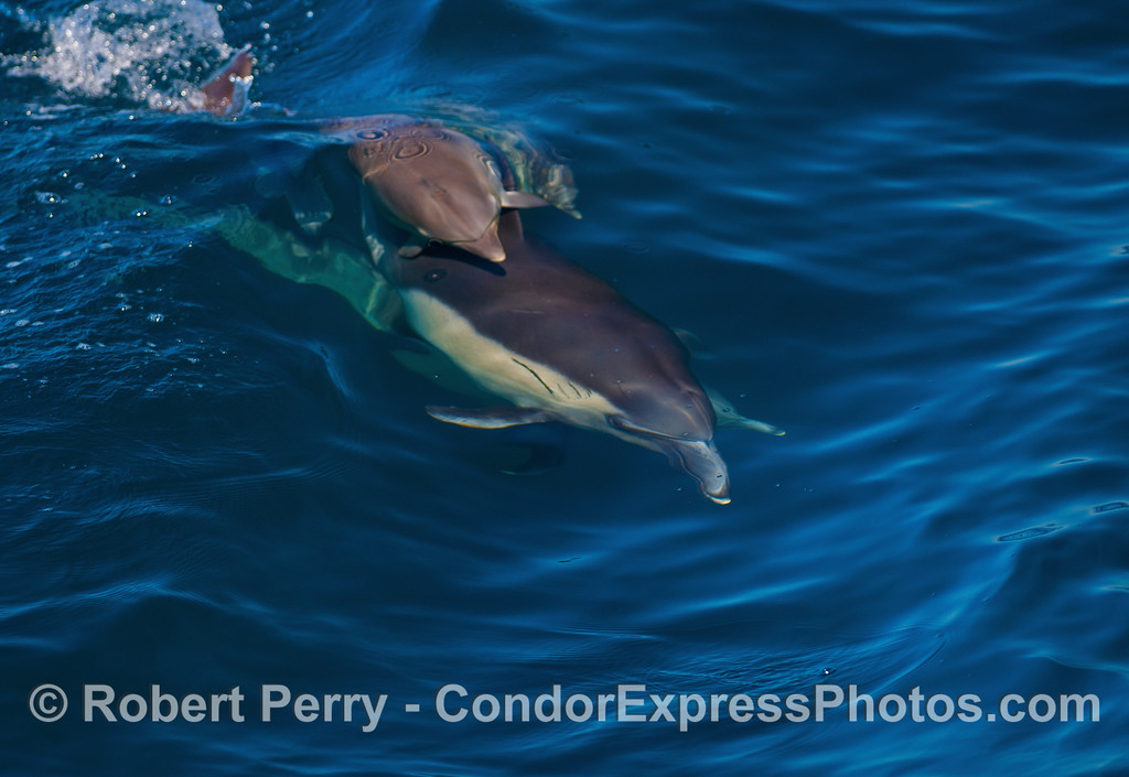 Image 1 of 5 in a sequence showing a small long-beaked dolphin calf riding on top of its mother.  Calves often ride directly under their mothers and are pulled ahead (to save energy) by the slipstream.  The behavior shown here is much more rare to witness and reveals another aspect of the cow-calf bond.