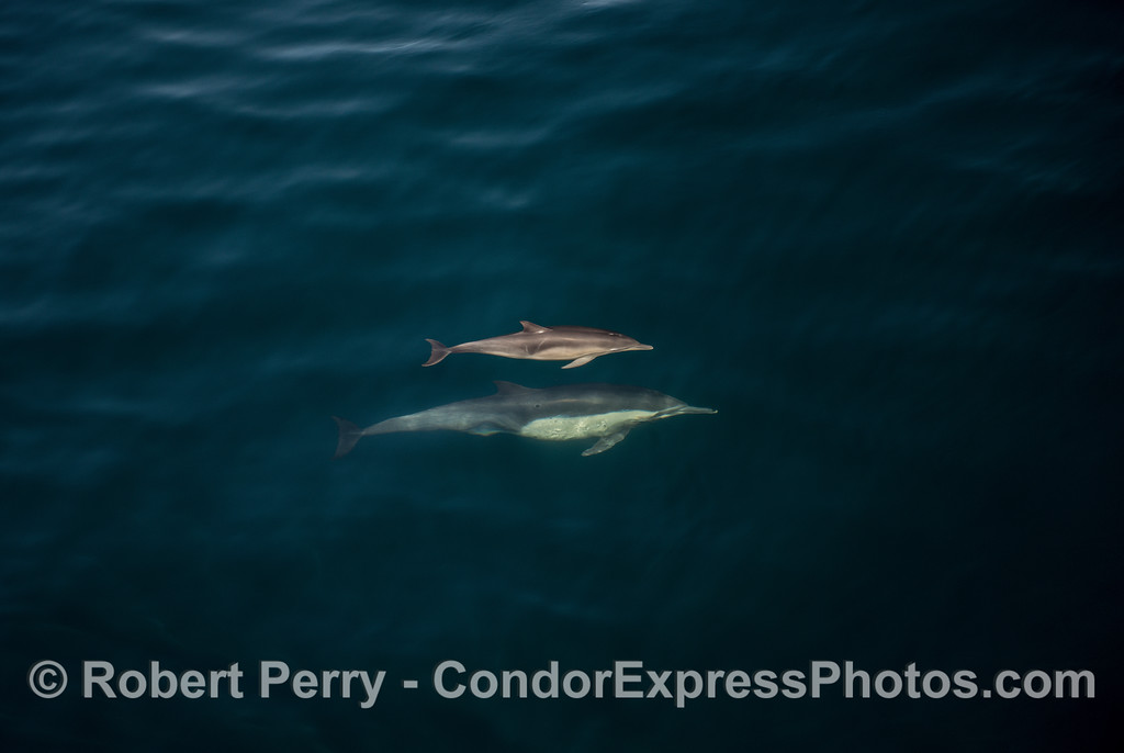 Mother long-beaked common dolphin and her calf.