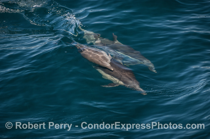 Image 3 of 5 in a sequence showing a small long-beaked dolphin calf riding on top of its mother.