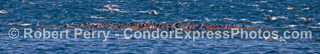 Band of brothers (and sisters) ...  California sea lion mob pano.