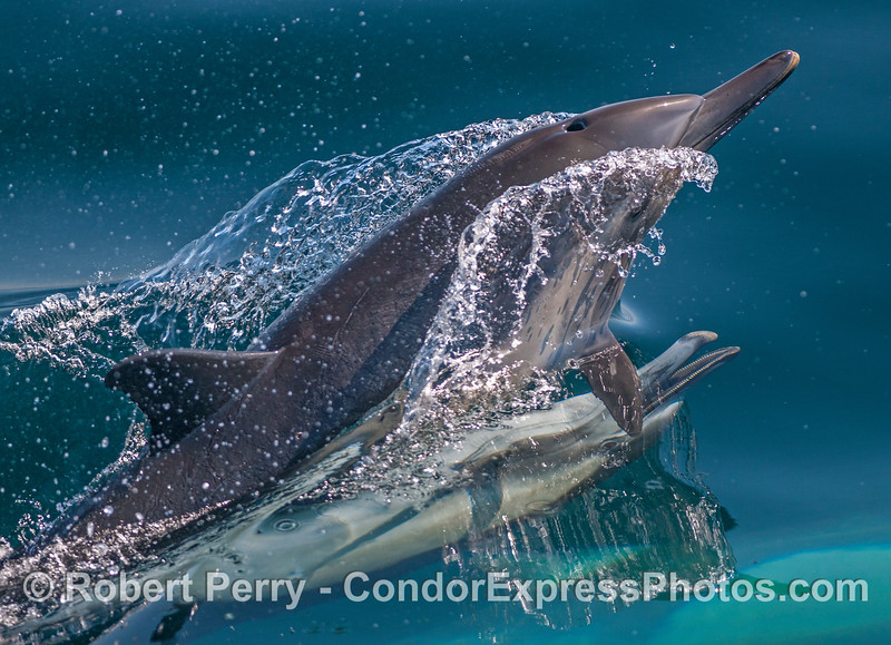 Aggressive male long-beaked common dolphin shows his teeth during mating sequence.