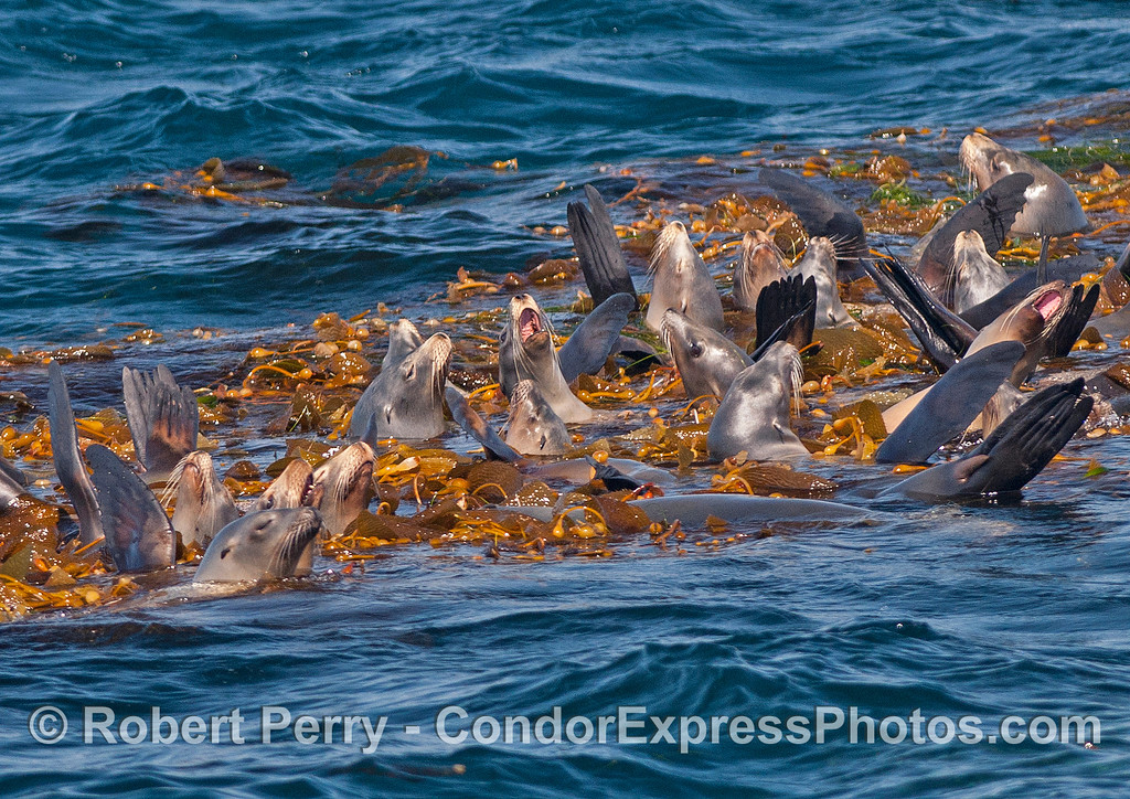 California sea lions relax on a giant kelp paddy.