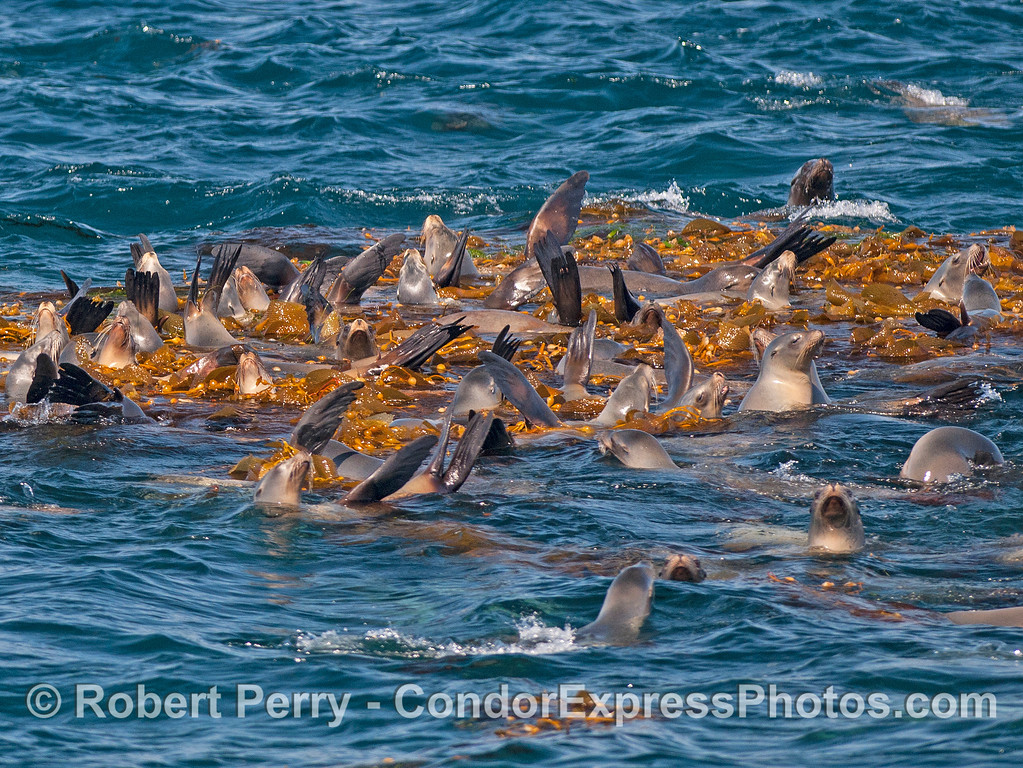 California sea lions associated with a giant kelp paddy.